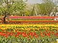 Britzer Garten - Tulipan 2013 - geo.hlipp.de - 36164.jpg