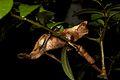 Brookesia superciliaris (15720094078).jpg