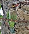 Brown-headed Barbet (Megalaima zeylanica) at Bharatpur I IMG 5296.jpg