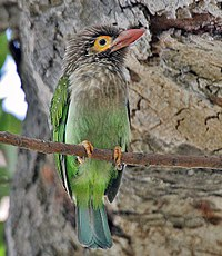 Brown-headed Barbet (Megalaima zeylanica) at Bharatpur I IMG 5296