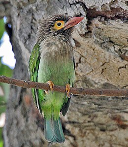 Brown-headed Barbet (Megalaima zeylanica) at Bharatpur I IMG 5296