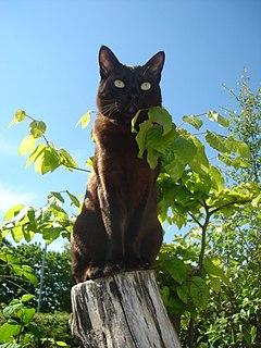 Asian cat Breed of cat