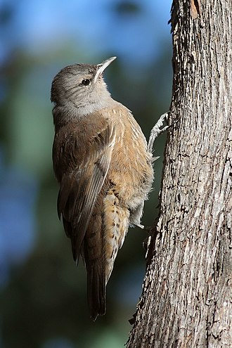 Australasian treecreeper - Brown treecreeper (Climacteris picumnus)
