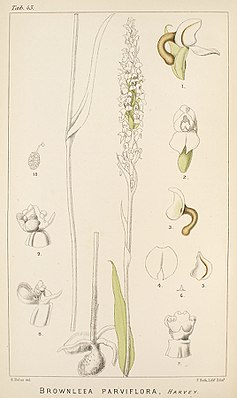 Brownleea parviflora - Bildtafel 43 in:Harry BolusIcones Orchidearum Austro-Africanarum(1896)