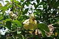 Brunfelsia lactea.jpg