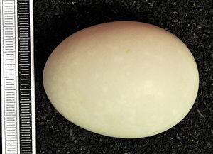 Barrow's goldeneye - Egg, Collection Museum Wiesbaden