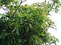 Buchanania axillaris (Cuddapah Almond) 15.jpg