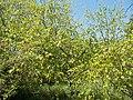 Budai Arborétum. Alsó kert. Papírnyír (Betula papyrifera). - Budapest.JPG