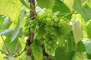 Galician wine - Albariño is widely grown throughout Galicia but particularly in the Rías Baixas DO.