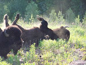 Fort Liard - Image: Buffalo and flies