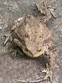 Common toad walking