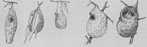 Grey warbler - Illustrations of grey warbler nests (1888).