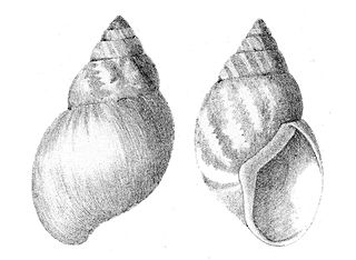 Bulimulidae Family of gastropods