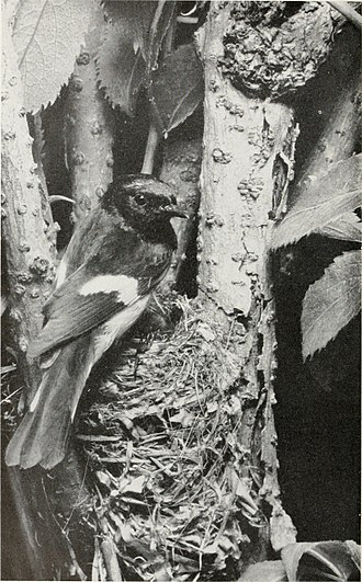 Eliot Porter - Maine, June 1945 Eliot Porter SOUTHERN AMERICAN REDSTART MALE, U.S. NATIONAL MUSEUM BULLETIN 203 PLATE 82