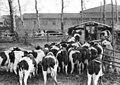 Bundesarchiv Bild 183-69200-0001, Kremmen, Kühe vor Milchstand.jpg