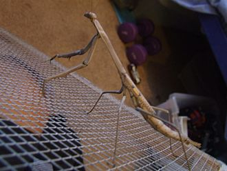 """Archimantis latistyla - Archimantis Monstrosa, to find more details look for A. monstrosa in the """"Sources"""" listed below."""