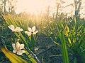 Bunga Bawang Dayak.jpg