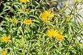 Buphthalmum salicifolium in Jardin des 5 sens (3).jpg