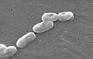 Scanning Electron Micrograph of Burkholderia c...