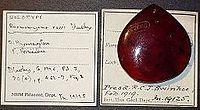 Burmomyrma rossi BMNHP19125 02.jpg