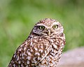 Burrowing Owl (39813733505).jpg