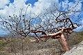 """Bursera Simaruba """"Tourist Tree"""" (Bonaire 2014) (15668736236).jpg"""