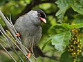 Bush Blackcap 2012 02 03 8310.jpg