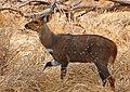 Bushbuck (Tragelaphus scriptus) male (33144828435).jpg