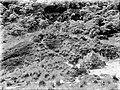 COLLECTIE TROPENMUSEUM Anaphalis en Festuca vegetatie op de Gumbing TMnr 10006305.jpg