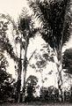 COLLECTIE TROPENMUSEUM Jongen beklimt met behulp van een bamboe een arenpalm waaruit palmwijn wordt getapt TMnr 10020035.jpg