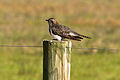 CSIRO ScienceImage 10349 Pallid Cuckoo Point Cook Victoria.jpg