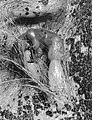 CSIRO ScienceImage 2164 Young Kangaroo Feeding in the Pouch.jpg