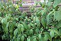 C pubescens ssp plants.jpg