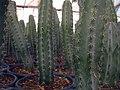 Cactaceae in iran- mahallat city کاکتوس های گلخانه های محلات- ایران 12.jpg