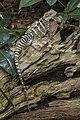 Cairns Water Dragon-1 (23820086823).jpg