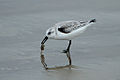 Calidris alba -Pismo Beach, San Luis Obispo, California, USA -eating-8.jpg
