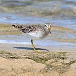 Calidris melanotos -Cape May, New Jersey, USA-8.jpg