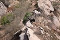 California condor chick -871 lands near the Devils Gate nest. (38817068644).jpg