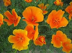 California poppy (Eschscholzia californica) - 22.jpg