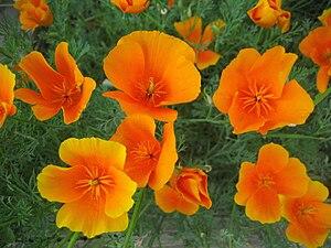 Eschscholzia - California Poppy (Eschscholzia californica)