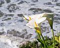 Calla lily (11714).jpg