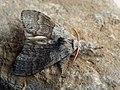 Calliteara pudibunda ♂ - Pale tussock (male) - Шерстолапка садовая (самец) (40833012652).jpg