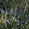 Calluna vulgaris - Oslo, Norway 2020-08-04.jpg