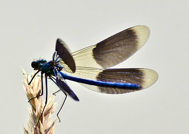 Calopteryx splendens in de Drentse AaM.jpg
