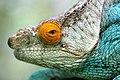 Calumma Parsonii Close Up Ste Marie Madagascar.jpg