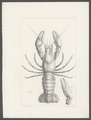 Cambarus affinis - - Print - Iconographia Zoologica - Special Collections University of Amsterdam - UBAINV0274 097 01 0018.tif