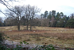 Hawkenbury, Tunbridge Wells - Sheep grazing on the meadow area of Camden Park.