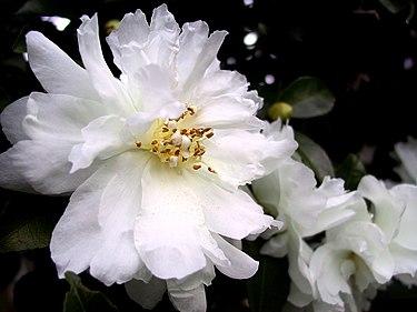 Белые цветы камелии