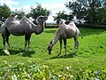 Camels at Twycross Zoo - geograph.org.uk - 511986.jpg