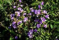 Campanula trachelium ENBLA02.jpg